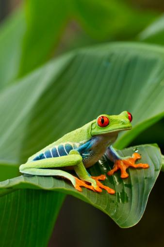 Central America「Red Eyed Tree Frog, Costa Rica」:スマホ壁紙(12)