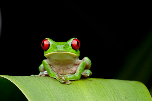 Central America「Red Eyed Tree Frog, Costa Rica」:スマホ壁紙(2)
