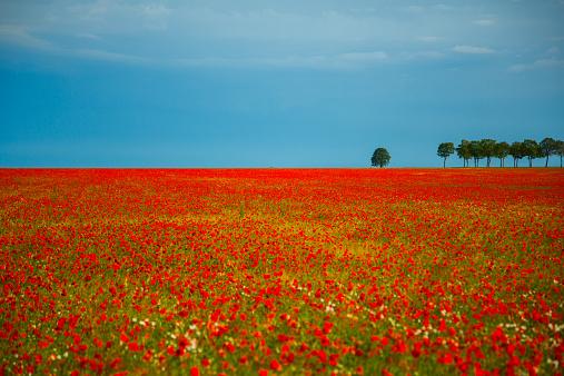 France「France, Fields of poppies」:スマホ壁紙(4)