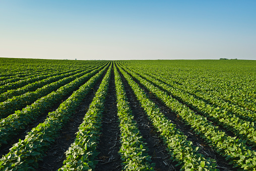 Insecticide「A healthy green mid-season soybean field two weeks after being sprayed with herbicide in central Iowa, dead broadleaf weeds can be seen in between the rows」:スマホ壁紙(17)