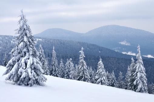 雪山「Carpathians 松の木」:スマホ壁紙(14)