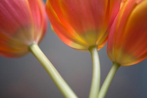 Stone Mountain - Georgia「Tulips, Stone Mountain, Georgia」:スマホ壁紙(13)