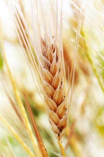 Rye - Grain「Rye macro vertical shot」:スマホ壁紙(15)