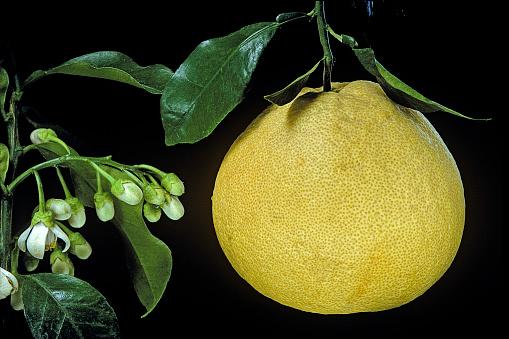 French Overseas Territory「Citrus maxima 'Tahitian' (pomelo, pummelo, shaddock, grapefruit)」:スマホ壁紙(18)