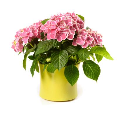Single Flower「Pink Hydrangea in yellow pot isolated on white」:スマホ壁紙(1)