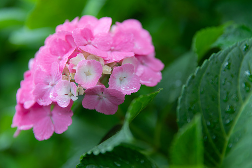 Hydrangea「Pink hydrangea and rain drop」:スマホ壁紙(2)