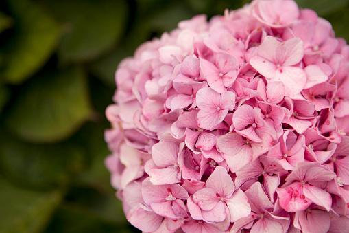 あじさい「pink hydrangea」:スマホ壁紙(14)