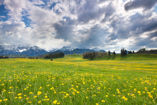 たんぽぽ「Blooming dandelion meadows in Bavaria」:スマホ壁紙(10)