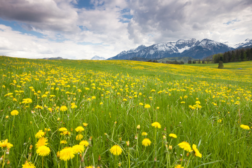たんぽぽ「Blooming dandelion meadows in Bavaria」:スマホ壁紙(9)