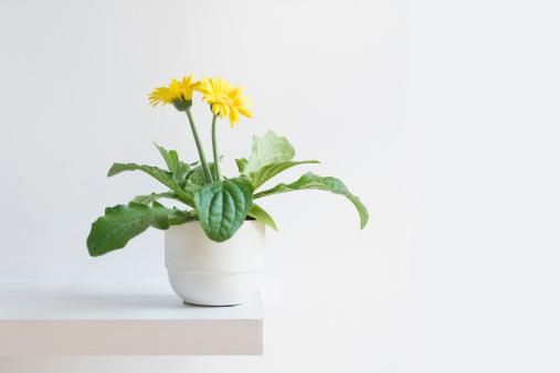 繊細「Blooming daisy」:スマホ壁紙(8)