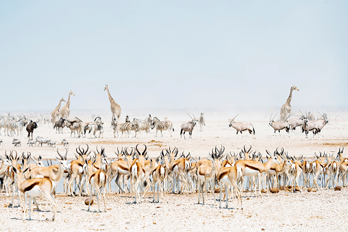 Giraffe「Namibia, Etosha National Park, wild animals near a waterhole」:スマホ壁紙(13)