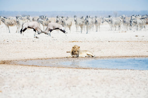 Namibia, Etosha National Park, lion resting at waterhole with herd of Zebras and Oryx in the background:スマホ壁紙(壁紙.com)