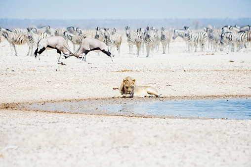 Animals Hunting「Namibia, Etosha National Park, lion resting at waterhole with herd of Zebras and Oryx in the background」:スマホ壁紙(3)