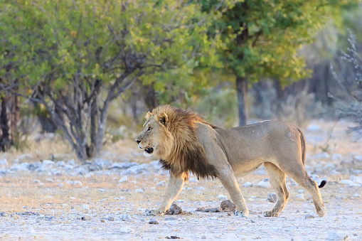 Namibia「Namibia, Etosha National Park, walking lion」:スマホ壁紙(6)