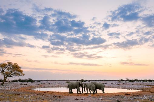 Namibia「Namibia, Etosha National Park, three elephants at a waterhole at sunset」:スマホ壁紙(16)