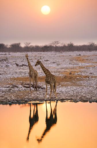 Giraffe「Namibia, Etosha National Park, giraffes at a waterhole at sunset」:スマホ壁紙(9)