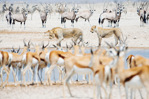 Animals Hunting「Namibia, Etosha National Park, lions in a waterhole surrounded by Springboks, Kudus and Zebras」:スマホ壁紙(1)