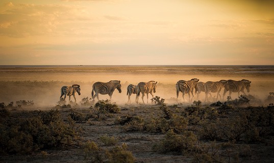 Namibia「Namibia, Etosha National Park, Herd of zebras in morning light」:スマホ壁紙(13)