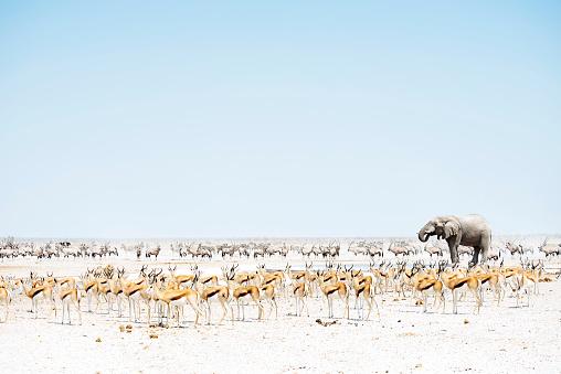 Surrounding「Namibia, Etosha National Park, elephant surrounded by Springboks and Oryx」:スマホ壁紙(8)