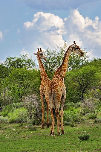 Giraffe「Namibia, Etosha National Park, two giraffes, Giraffa camelopardalis」:スマホ壁紙(8)