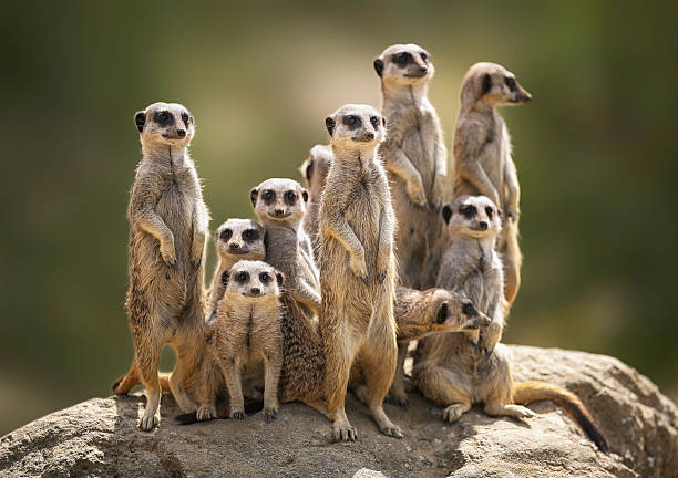 Meerkat family on lookout:スマホ壁紙(壁紙.com)