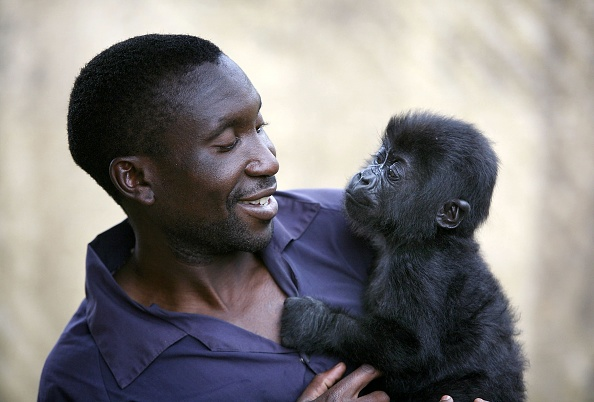 Gorilla「Congo Battles To Save Wildlife After Years Of War And Poaching」:写真・画像(10)[壁紙.com]