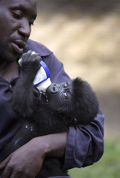 Gorilla「Congo Battles To Save Wildlife After Years Of War And Poaching」:写真・画像(15)[壁紙.com]
