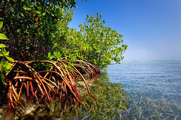 Red mangrove forest and shallow waters in a Tropical island:スマホ壁紙(壁紙.com)