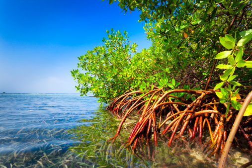 Shallow「Red mangrove forest and shallow waters in a Tropical island」:スマホ壁紙(13)