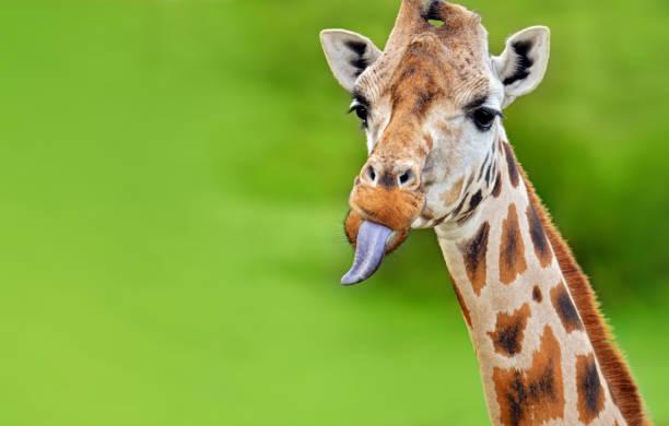 funny giraffe sticks out tongue:スマホ壁紙(壁紙.com)