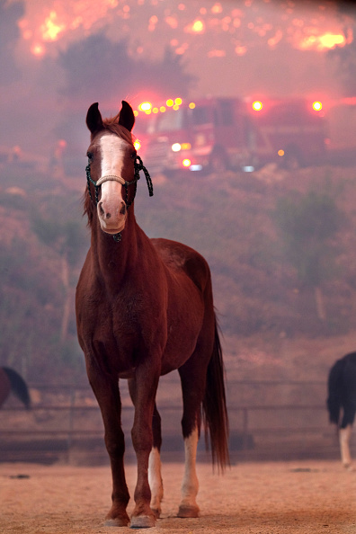 Animal「Fast-Spreading Hill and Woolsey Fires Force Evacuations In California's Ventura County」:写真・画像(11)[壁紙.com]