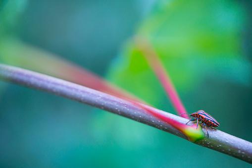 小枝「Italian striped bug and minstrel bug (Graphosoma lineatum), Pentatomoidea, Hemipteros,  Redes Natural Park, Caso Council, Asturias, Spain, Europe」:スマホ壁紙(8)