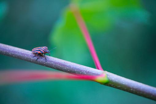 小枝「Italian striped bug and minstrel bug (Graphosoma lineatum), Pentatomoidea, Hemipteros,  Redes Natural Park, Caso Council, Asturias, Spain, Europe」:スマホ壁紙(7)