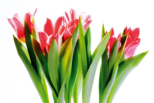 チューリップ「Bunch of tulips, close-up」:スマホ壁紙(9)
