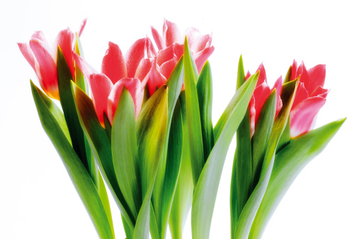 Clipping Path「Bunch of tulips, close-up」:スマホ壁紙(15)