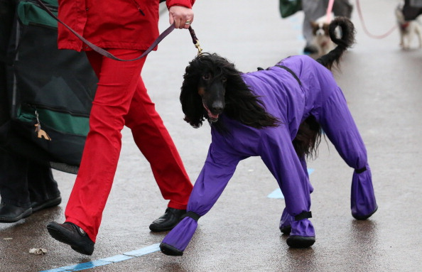 Domestic Animals「Dogs And Owners Gather For 2014 Crufts Dog Show」:写真・画像(1)[壁紙.com]