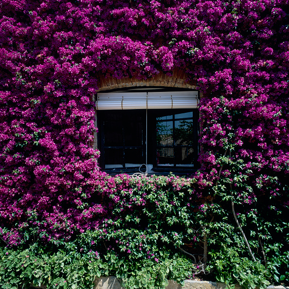 Violet - Flower「View of creepers growing against a house」:写真・画像(16)[壁紙.com]