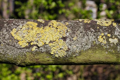 Ash Tree「Yellow lichen Xanthoria parietina on branch close up」:スマホ壁紙(11)