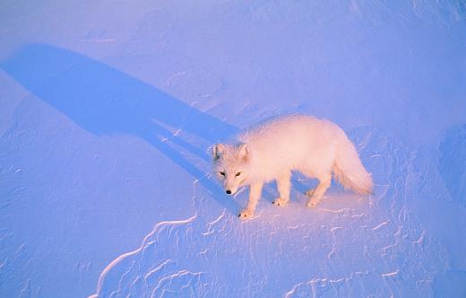 Arctic Fox「Polar fox going through snow」:スマホ壁紙(14)