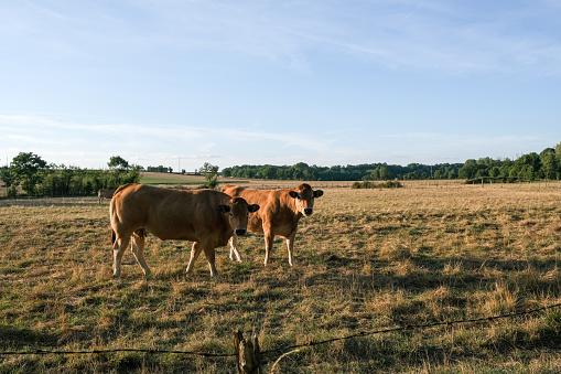 Nouvelle-Aquitaine「Two cows standing in a field, Deux-Sevres, Nouvelle Aquitaine, France」:スマホ壁紙(7)