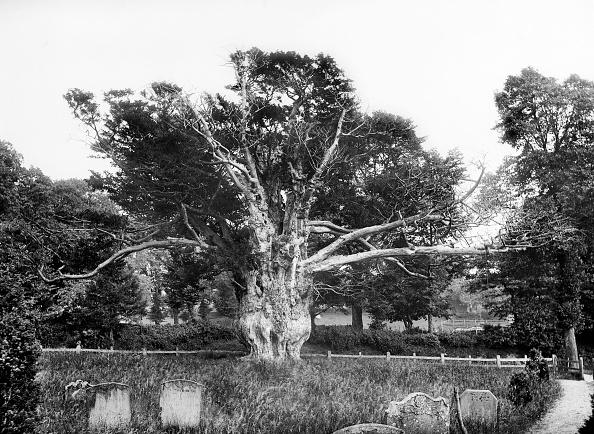 Tree「Ancient Yew Tree」:写真・画像(3)[壁紙.com]