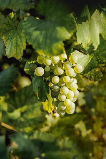 Grape「Grape Vine Amid Leaves In Vinyard」:スマホ壁紙(10)