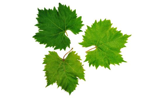Grape「grape vine leaves」:スマホ壁紙(8)