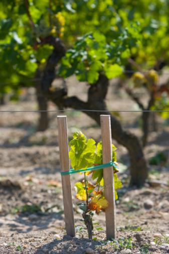 Nouvelle-Aquitaine「Grape vine, Sauternes, France」:スマホ壁紙(17)