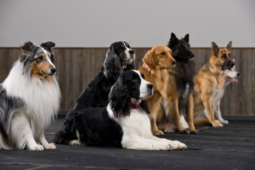 Three Quarter Length「Line of purebred dogs in obedience class」:スマホ壁紙(14)