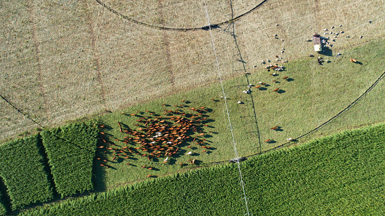 Eating「Straight down aerial view of beautiful brown organic cows grazing in a field」:スマホ壁紙(1)