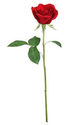 Single Object「Red rose XXL」:スマホ壁紙(5)