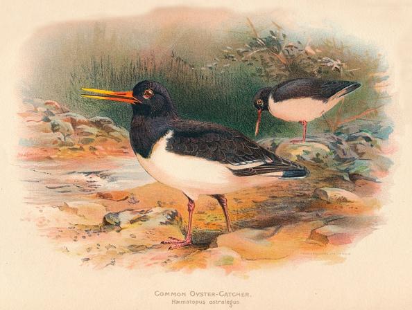 Beak「'Common Oyster-Catcher (Haematopus ostralegus)', 1900, (1900)」:写真・画像(15)[壁紙.com]