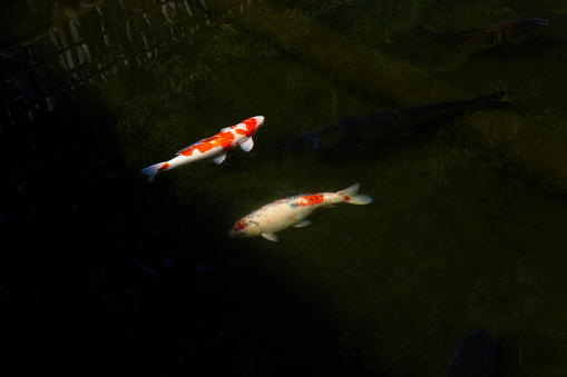 Carp「Two colored carps in the pond」:スマホ壁紙(11)