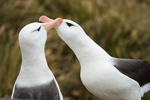 Falkland Islands「Steeple Jason isand in the Falkalnds  is a home to the largest colony of black-browed albatrosses in the world. Over 70% of the global population of black-browed albatross breed in the Falkland Islands」:スマホ壁紙(15)